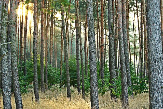 Forest, Tree, Pine Forest, Pine, Nature, Sun, Sunbeam
