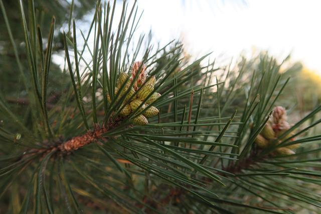 Pine, Cocoon, Tree, Needle Leaf, Nature