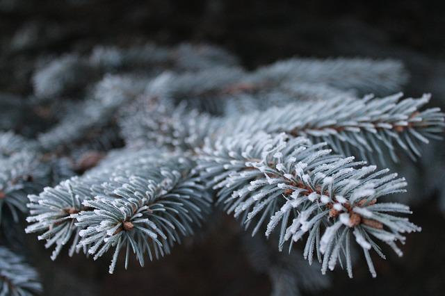 Frost, Branch, Pine, Spruce, Iglak, Tree, Needles