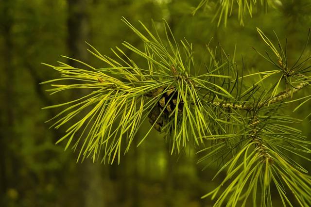 Pine Cones, Pine, Needles, Tree, Conifer, Pine Needles