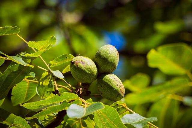 Walnut, Tree, Green, Nut