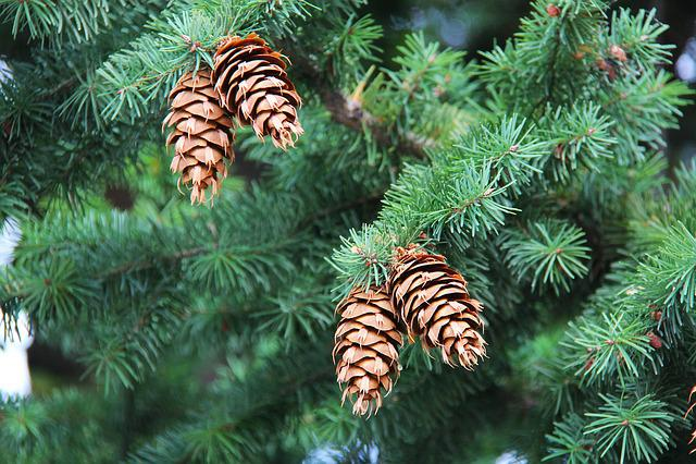 Pinecone, Cones, Tree, Green, Autumn, Yellow, Orange