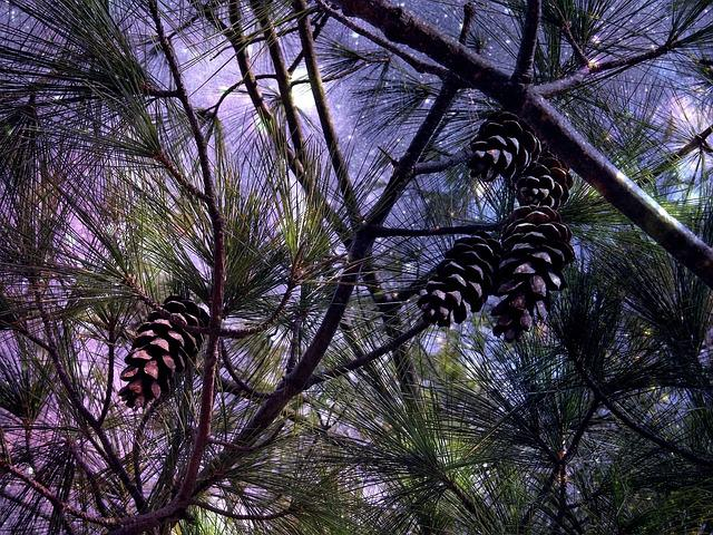 Starry Sky, Pine Cones, Pine, Tap, Conifer, Tree