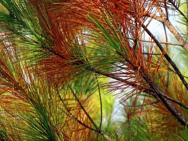 Pine, Tree, Pine Needles, Nature, Pine Branch, Fall
