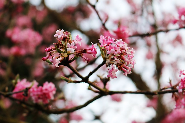 Free Photo Tree Pink Flowers Aesthetic Flowers Hopper