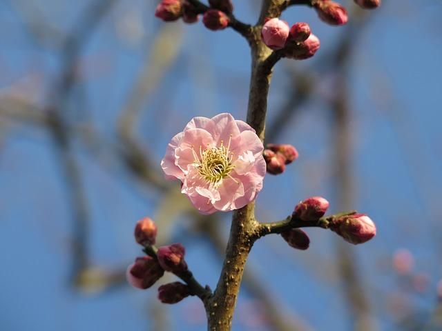 Plum, Blossom, Plum Blossom, Pink, Tree