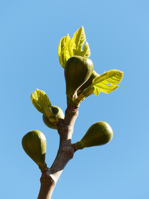 Figs, Fig Tree, Fruits, Real Coward, Fig Leaves, Tree