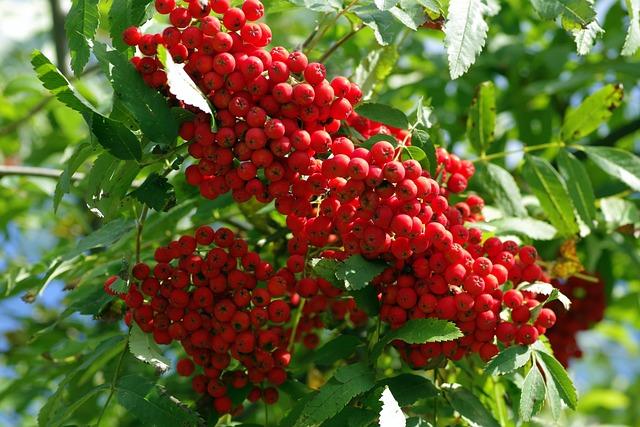 Rowan, Fruit, Red, Berries, Balls, Branch, Tree