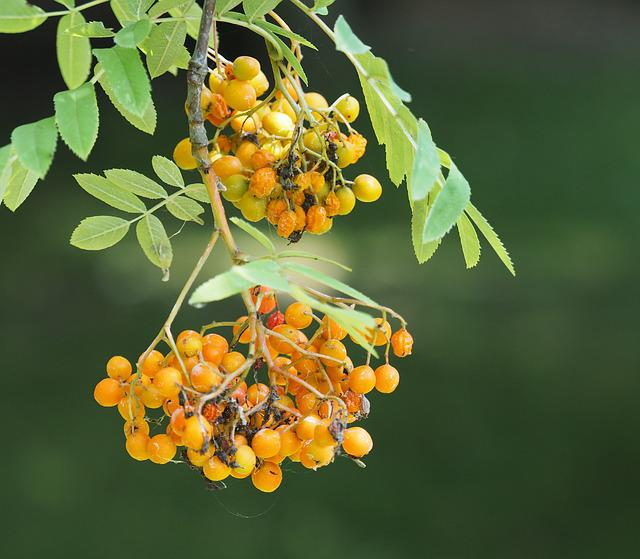 Plant, Tree, Nature, Plants, Fetus, Garden, Rowan Berry