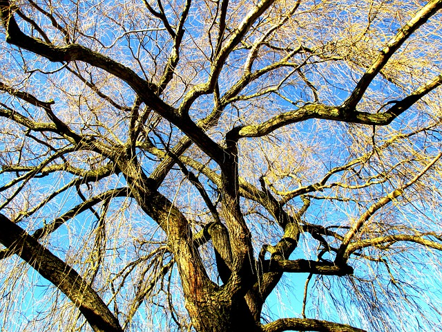 Tree, Weeping Willow, Light, Sun, Sky, Blue