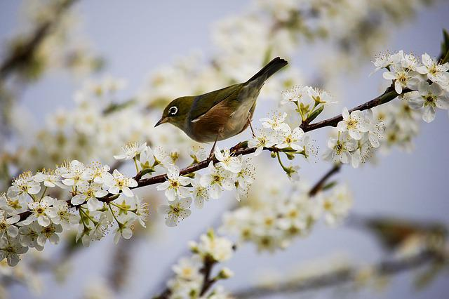 Blossom, White, Bird, Spring, Branch, Tree