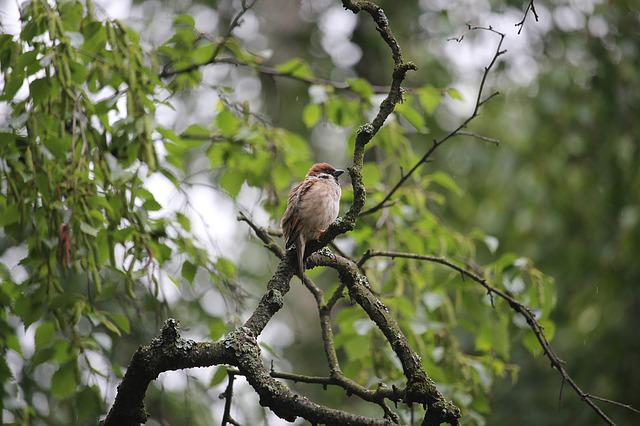 Tree Sparrow, Bird, Nature, Oslo, Sparrow, Tree