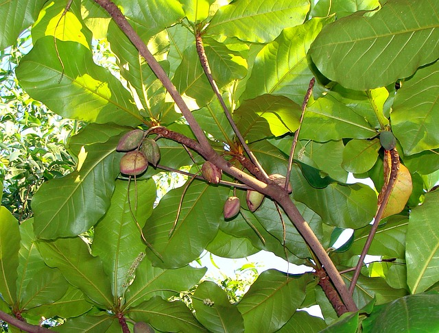 Indian Almond, Fruits, Tree Tropical Almond