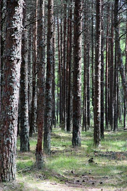 Forest, Trunks, Trees, Tree Trunks, Coniferous Tree