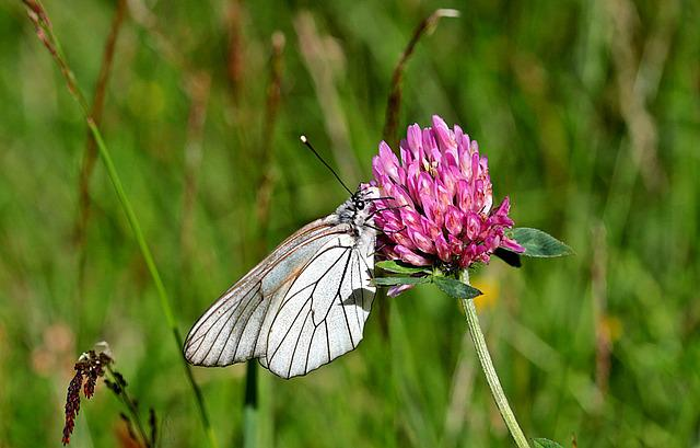 Butterfly, Tree White, Aporia Crataegi, Butterflies