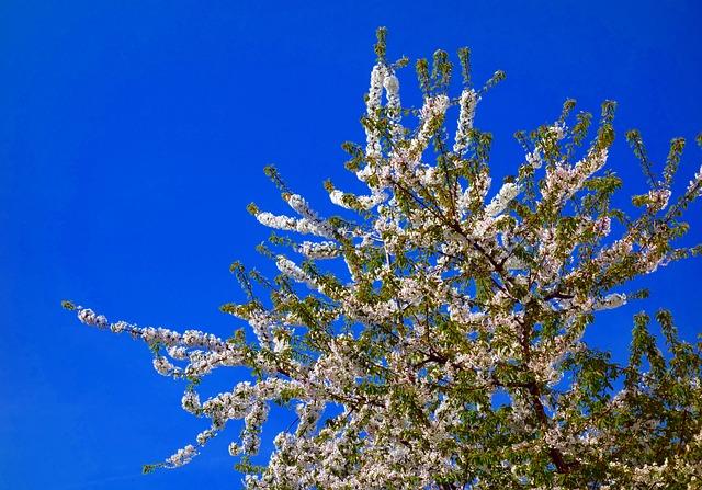 Nature, Tree, Cherry, Blossom, Bloom, White