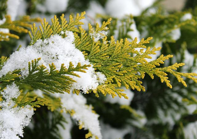 Thuja, Tree, Season, Winter, Snow, Branch, Nature