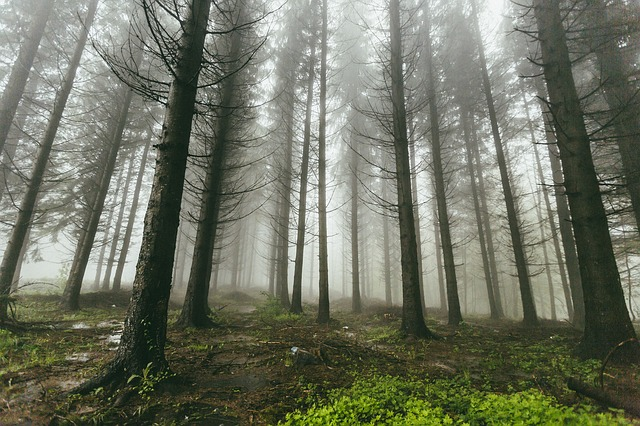 Fog, Forest, Nature, Trees, Woods, Gray Nature