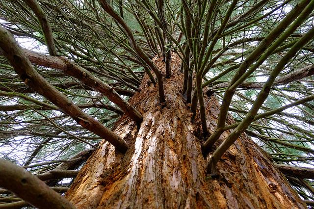 Sequoia, Tree, Large, Cypress, Tribe, Red, Branches