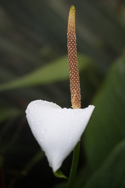 Anthurium Flamingo Flower, Anthurium, Tribus Anthurieae
