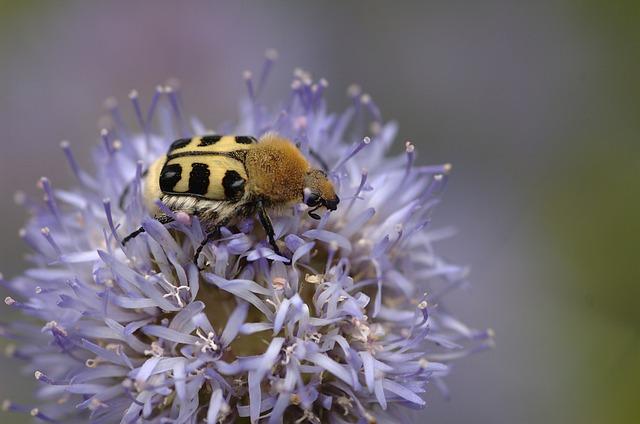 Insect, Bug, Bee Beetle, Trichius Zonatus, Scarabaeidae