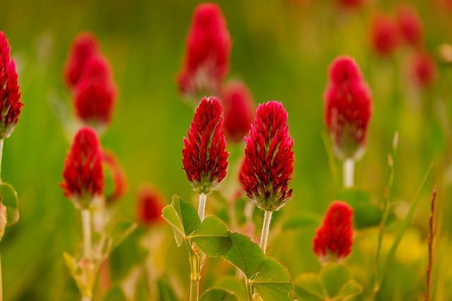 Klee, Rose Clover, Trifolium Incarnatum, Meadow