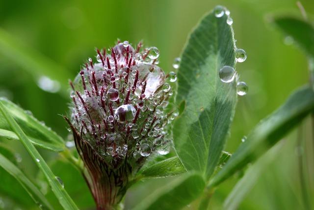 Klee, Trifolium, Red Clover, Onset Clover Blossom