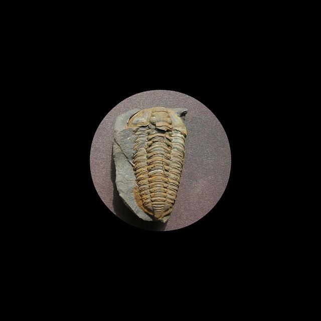 Fossil, Trilobite, Colpocoryphe Bohemica