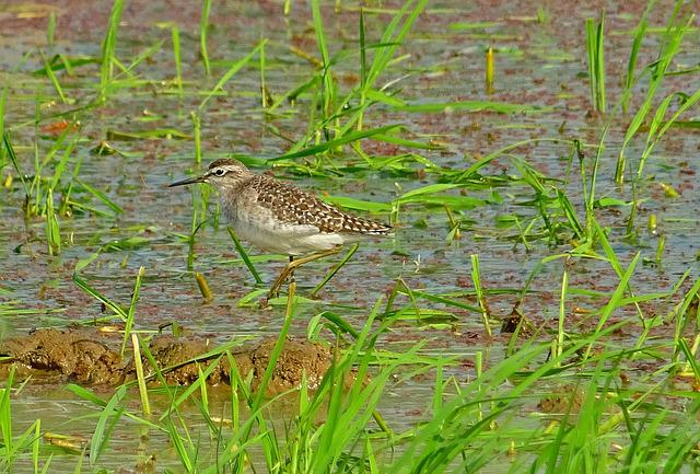 Bird, Wood Sandpiper, Tringa Glareola, Wader, Mid-sized