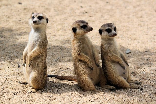 Meerkats, šelmičky, African, Trio, Curious, Panáčkující