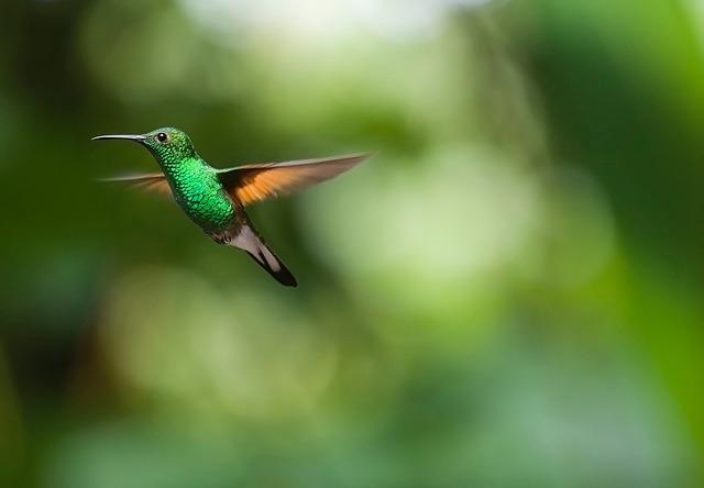 Hummingbird, Bird, Trochilidae, Flying, Plumage