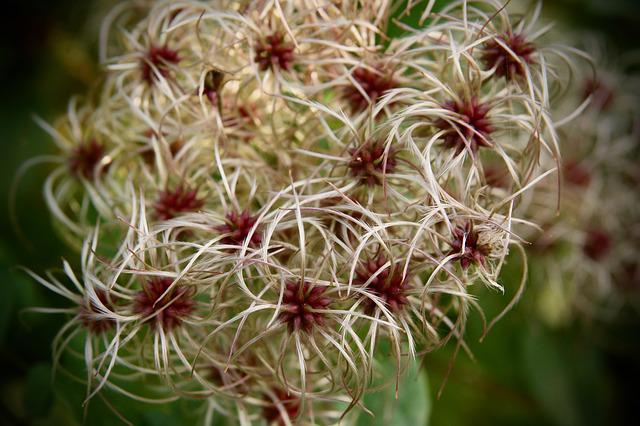 Clematis, Trockenblume, Faded, Infructescence