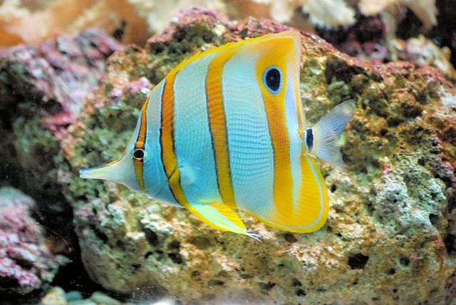 Butterflyfish, Fish, Tropical, Copperband