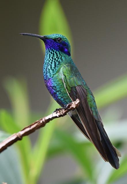 Hummingbird, Bird, Nature, Tropical, Wings