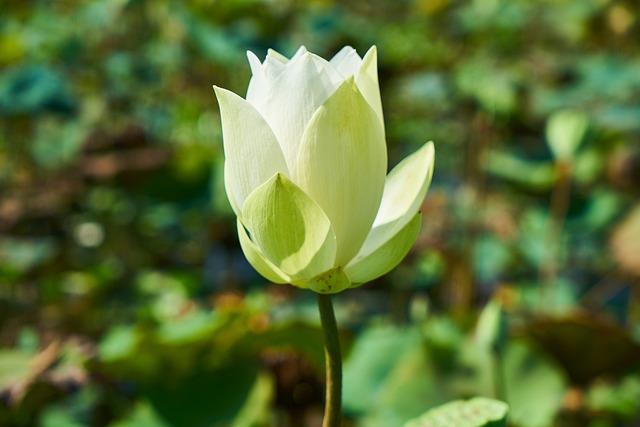 Lotus, Plant, Flower, Nature, Leaves, Petals, Tropical