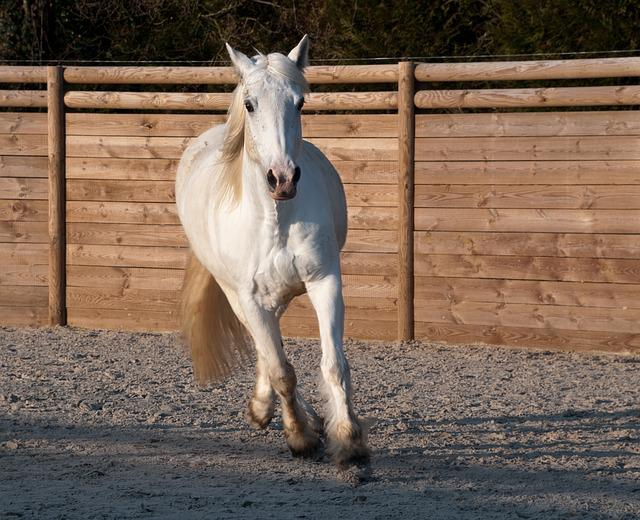 Horse, Trotter, White, Mare