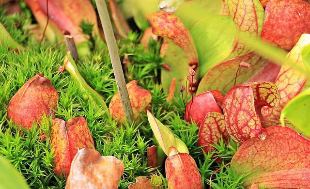 Hose Plant, Trumpet Sheet, Trumpet Plant