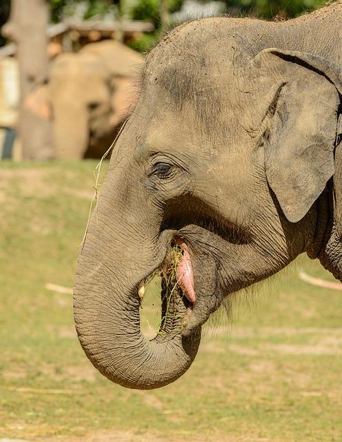 Elephant, Portrait, Trunk, Ears, Gray, Feeding, Head