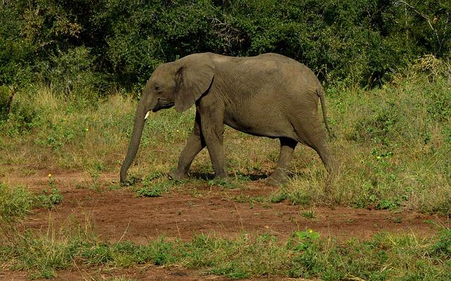 Mammal, Wildlife, Elephant, Nature, Animal, Trunk