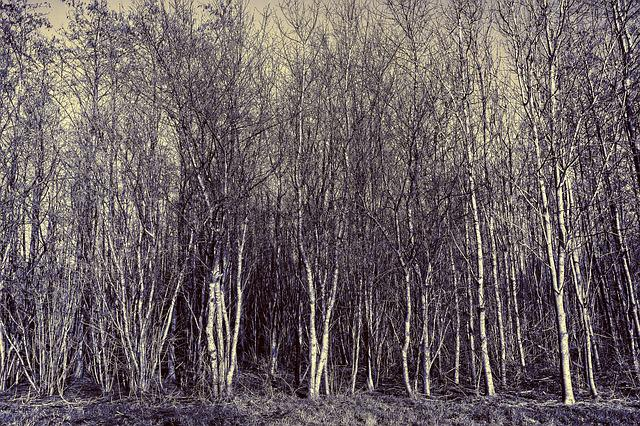 Tree, Grove, Forest, Trunk, Slender, Thin, Narrow