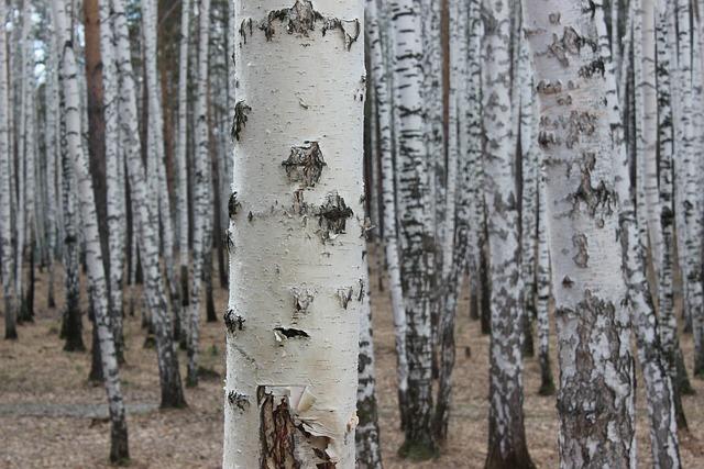 Wood, Tree, Nature, Bark, Trunk, Birch, Outdoors