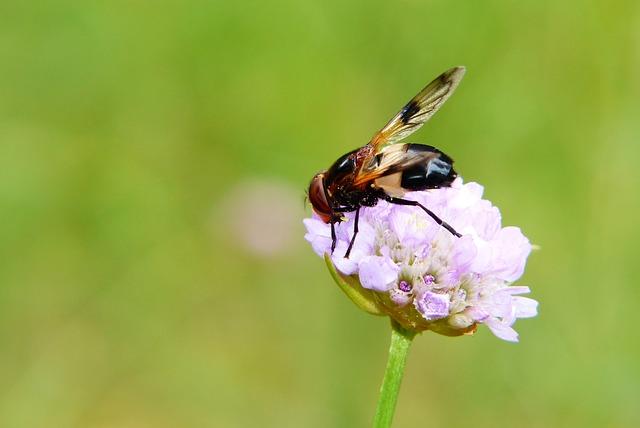 Trzmielówka Forest, Muchówka, Insect, Model, Flower