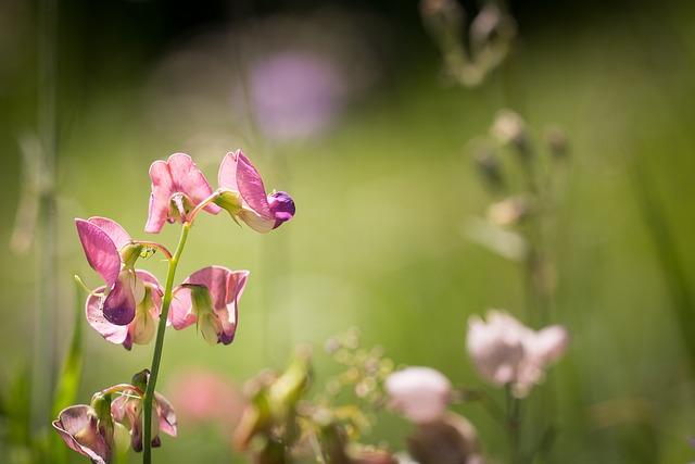 Tuberous Lathyrus, Lathyrus Tuberosus, Pointed Flower