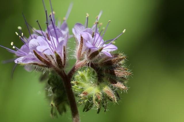 Tufted Flower, Bee Friend, Bees, Phacelia
