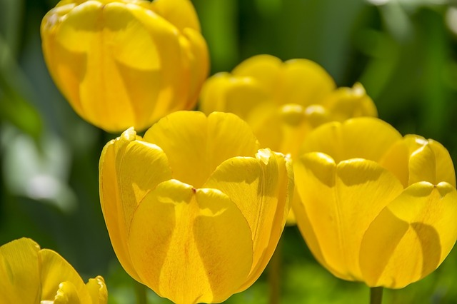 Yellow Tulips, Spring, The Background, Tulip, Beautiful