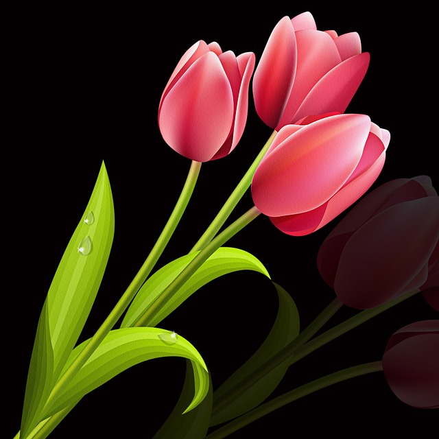 Tulip, Flower, Plant, Nature, Leaf, Black Background