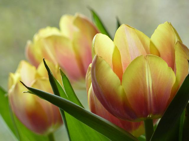 Flower, Blossom, Bloom, Cup, Tulip, Calyx, Soft