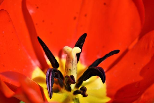 Tulip, Tulpenbluete, Tulip Field, Blossomed, Stamp