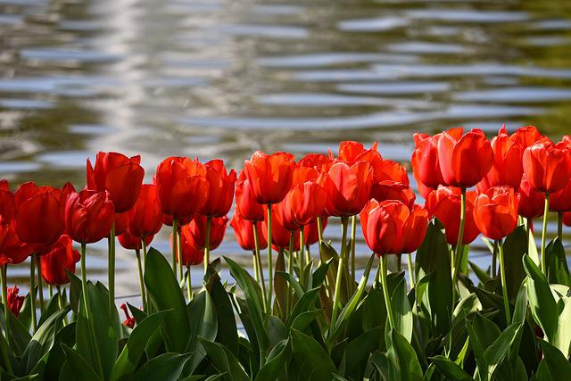 Tulip, Red Tulip, Flower, Plant, Bulbous, Bloom