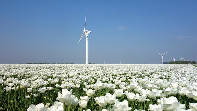 Wind Mill, Tulips, Bulbs, Tulip, Spring, Bulb, Holland